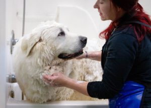 dog with seasonal allergies getting bathed